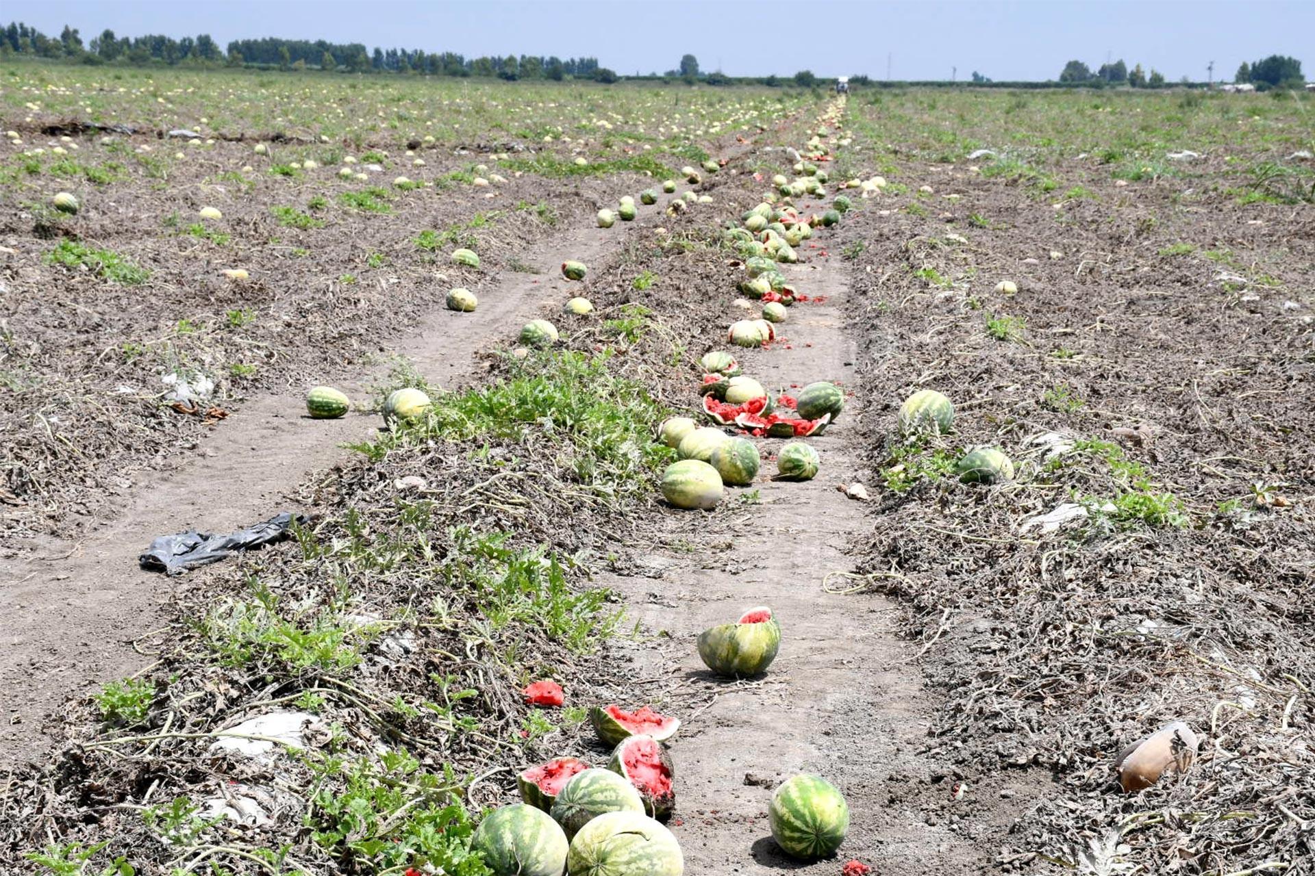 Karpuzun kilogram fiyatı tarlada 10 kuruşa kadar düşünce üreticiler hasat etmedi