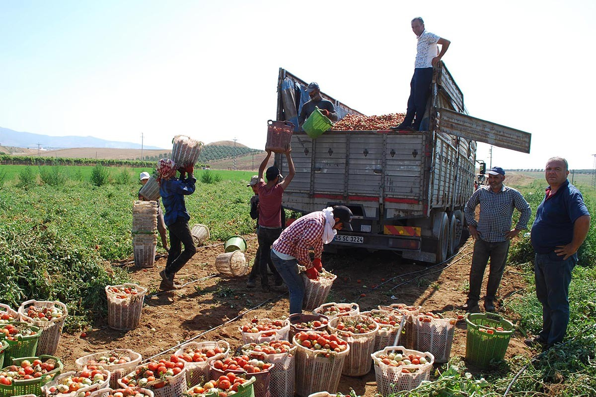Maliyetini karşılamayan domates tarlada kaldı, 20-30 kuruşa bile alan yok