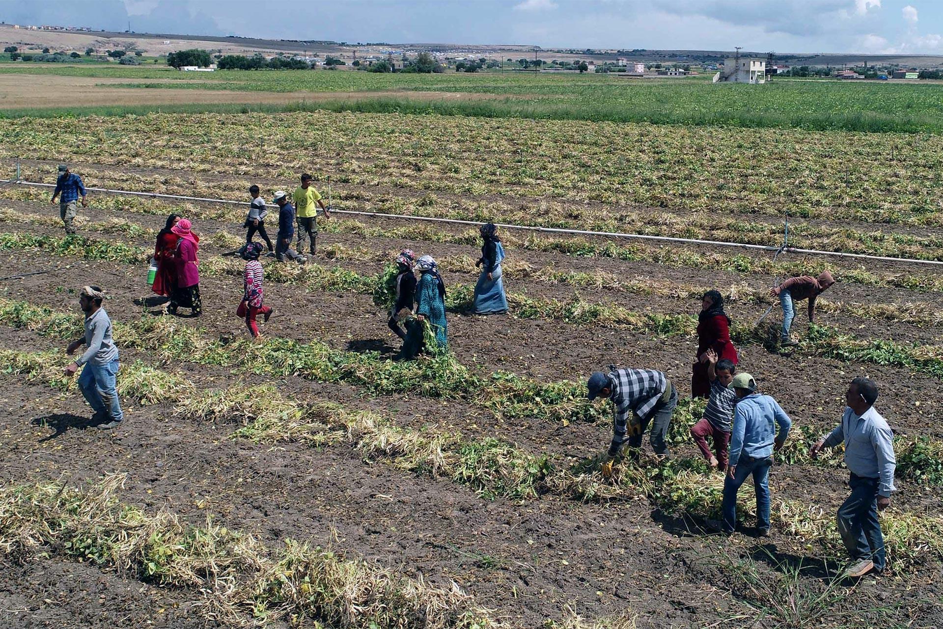 Tarım işçileri 70 lira yevmiye için zorlu koşullarda çalışmaya mahkum!