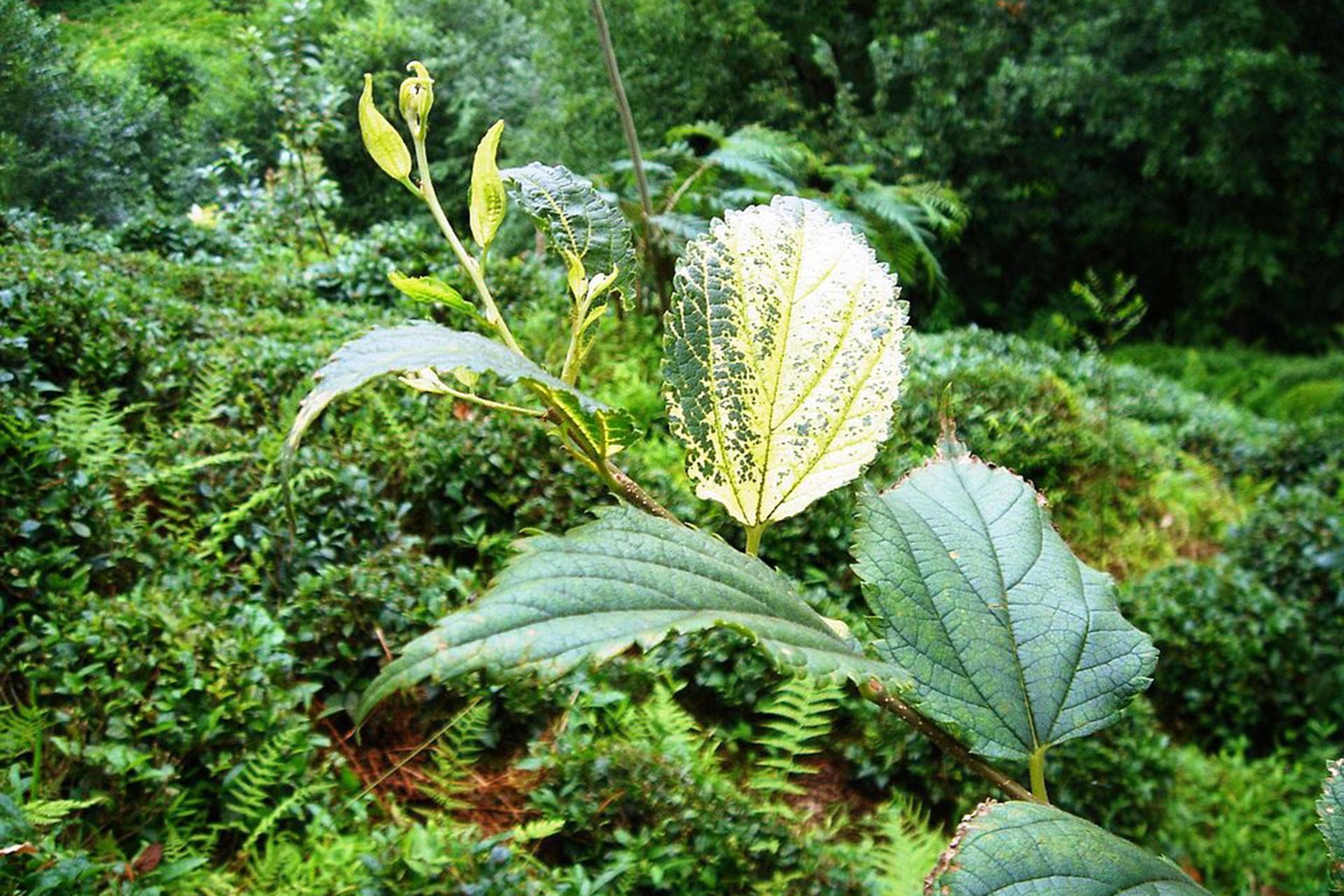 Kaz Dağları'nda geleneklerde kullanılan bitkiler: Bin pınarlı İda ve eşsiz bitkileri