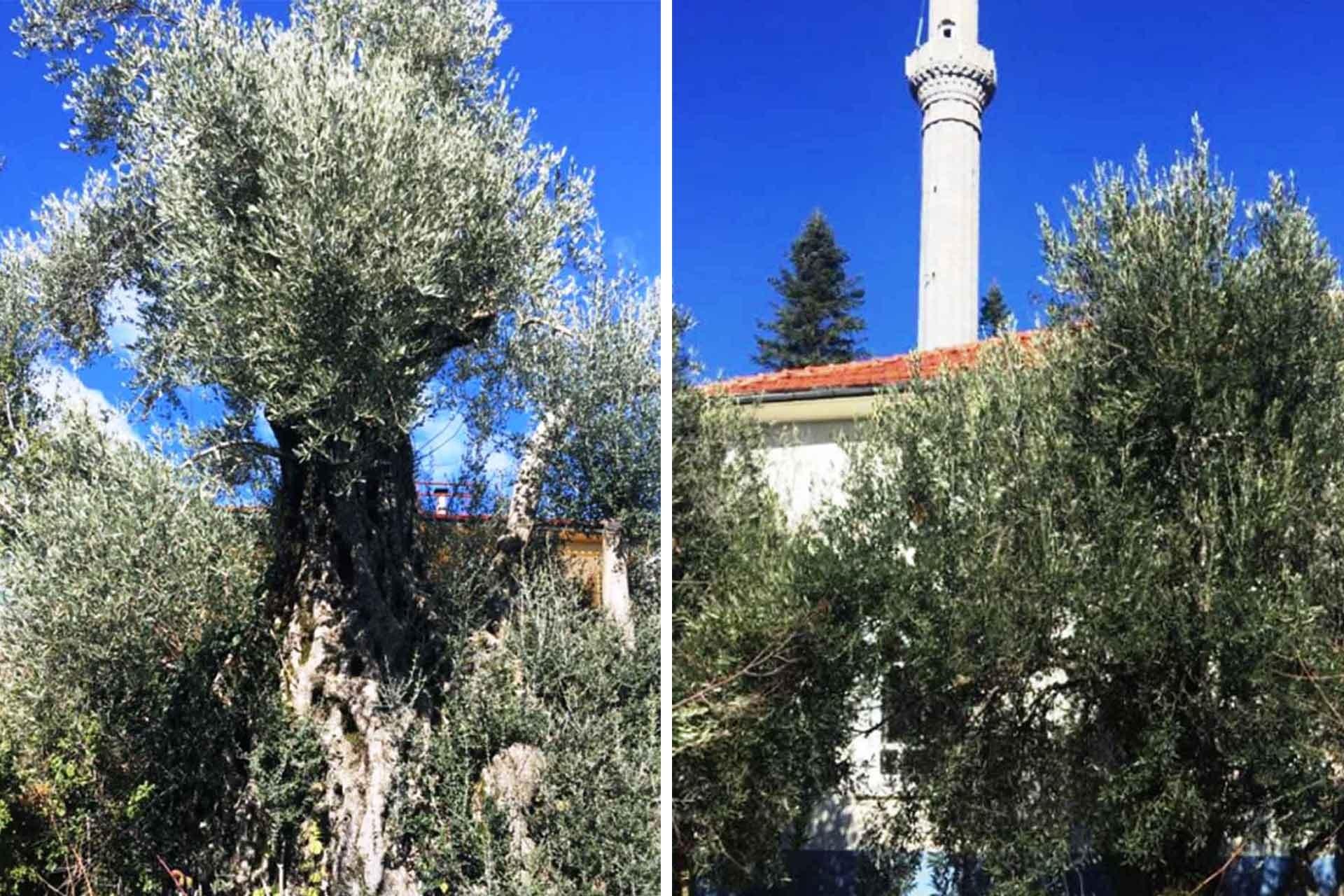 Antalya'da 11 bin zeytin ağacı mermer ocağına kurban edilecek