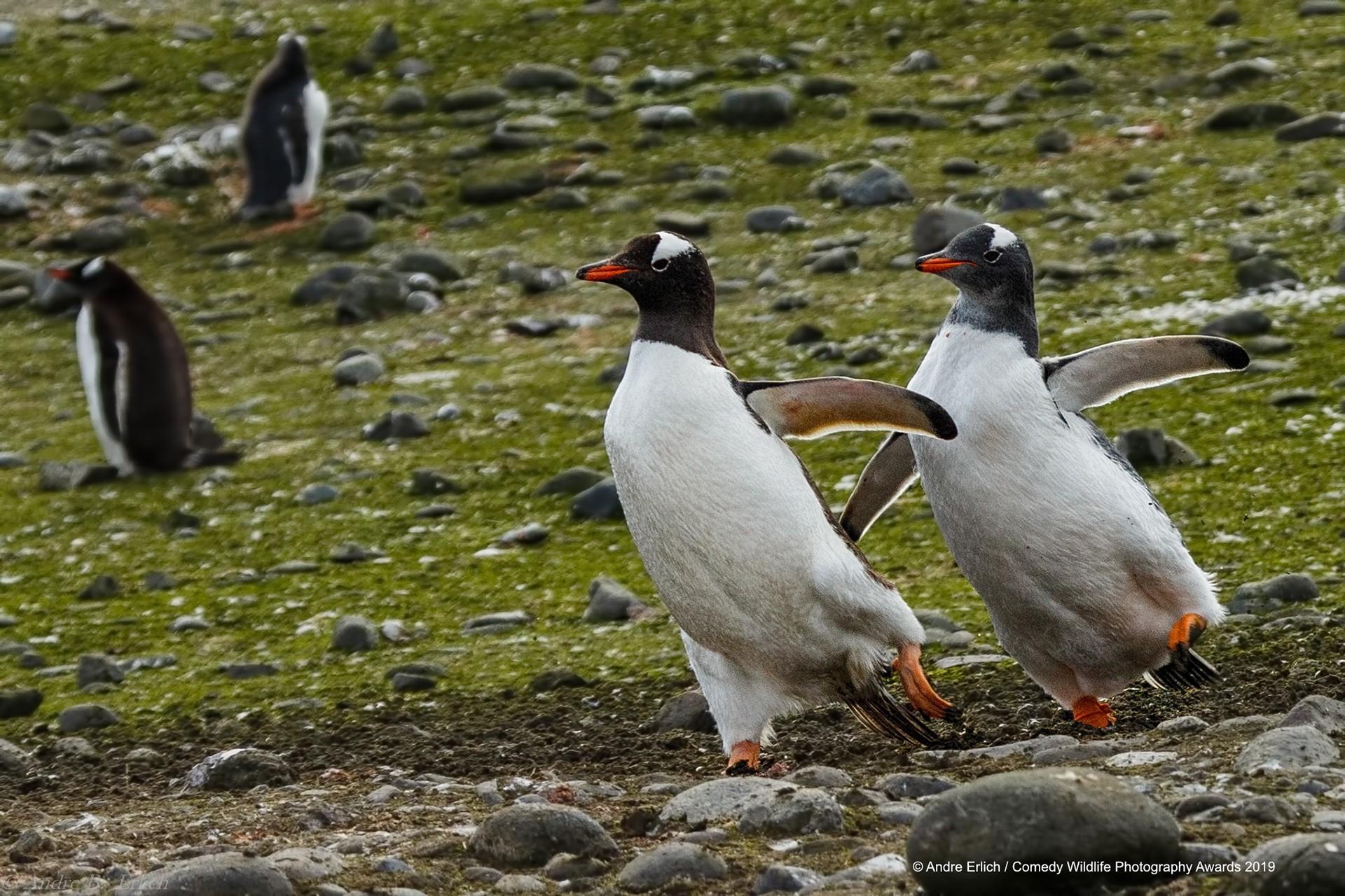 Gentoo pengueni
