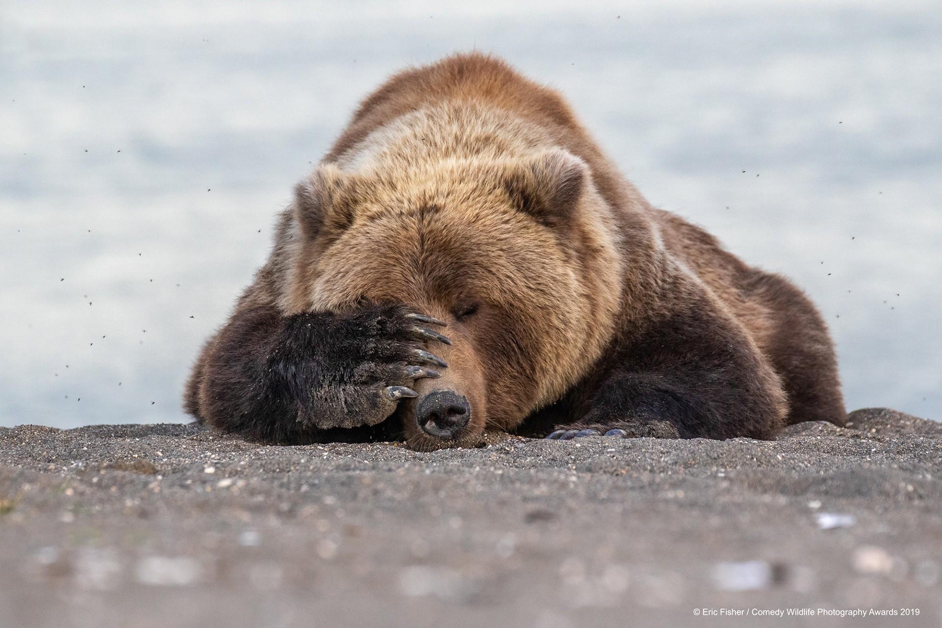 Kahverengi ayı, Alaska