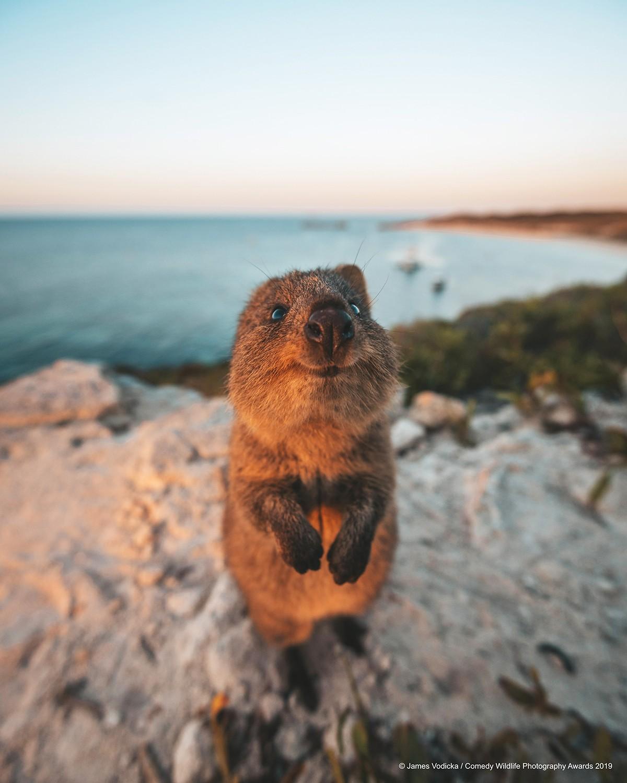 Kısa kuyruklu kanguru
