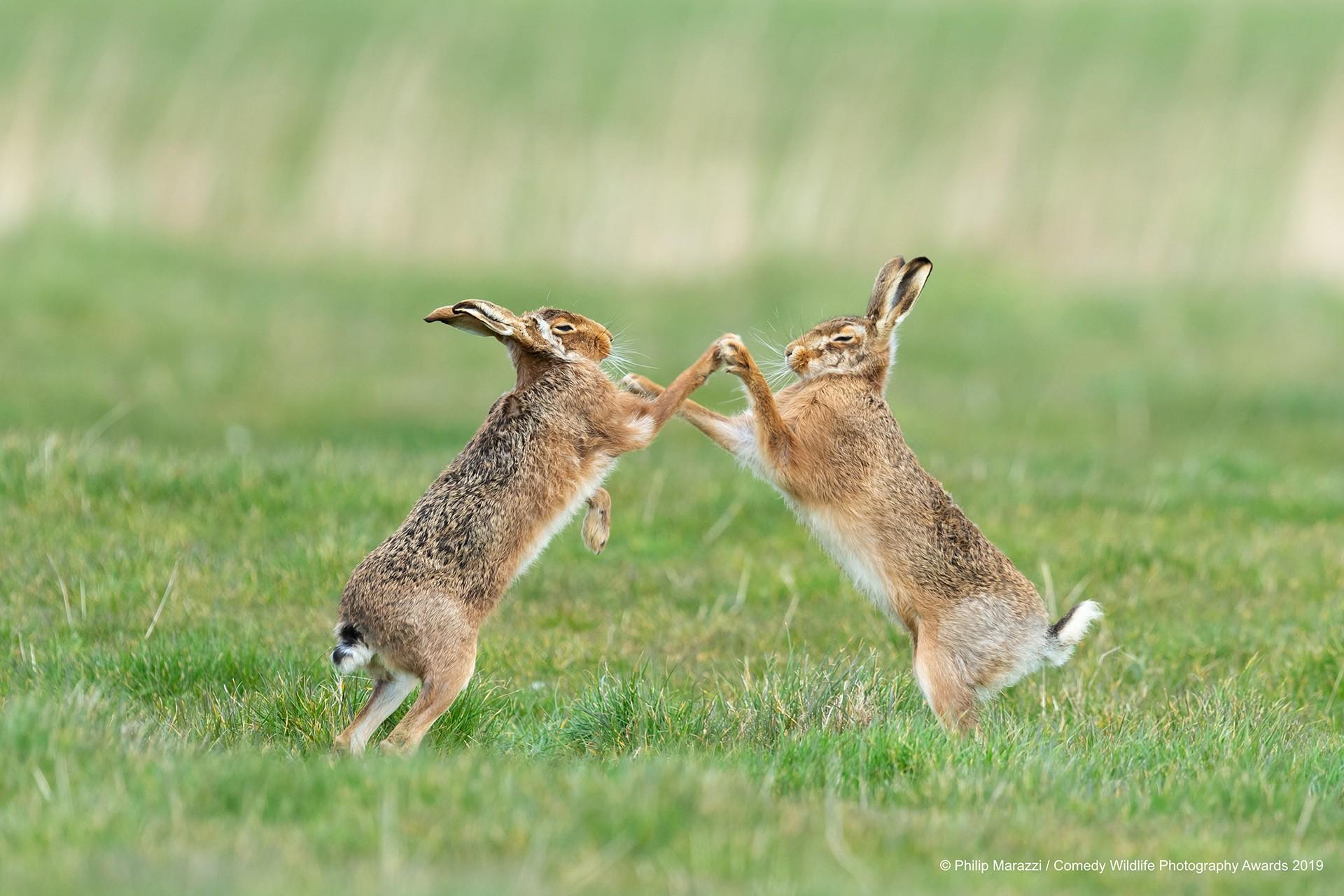 Kahverengi tavşanlar