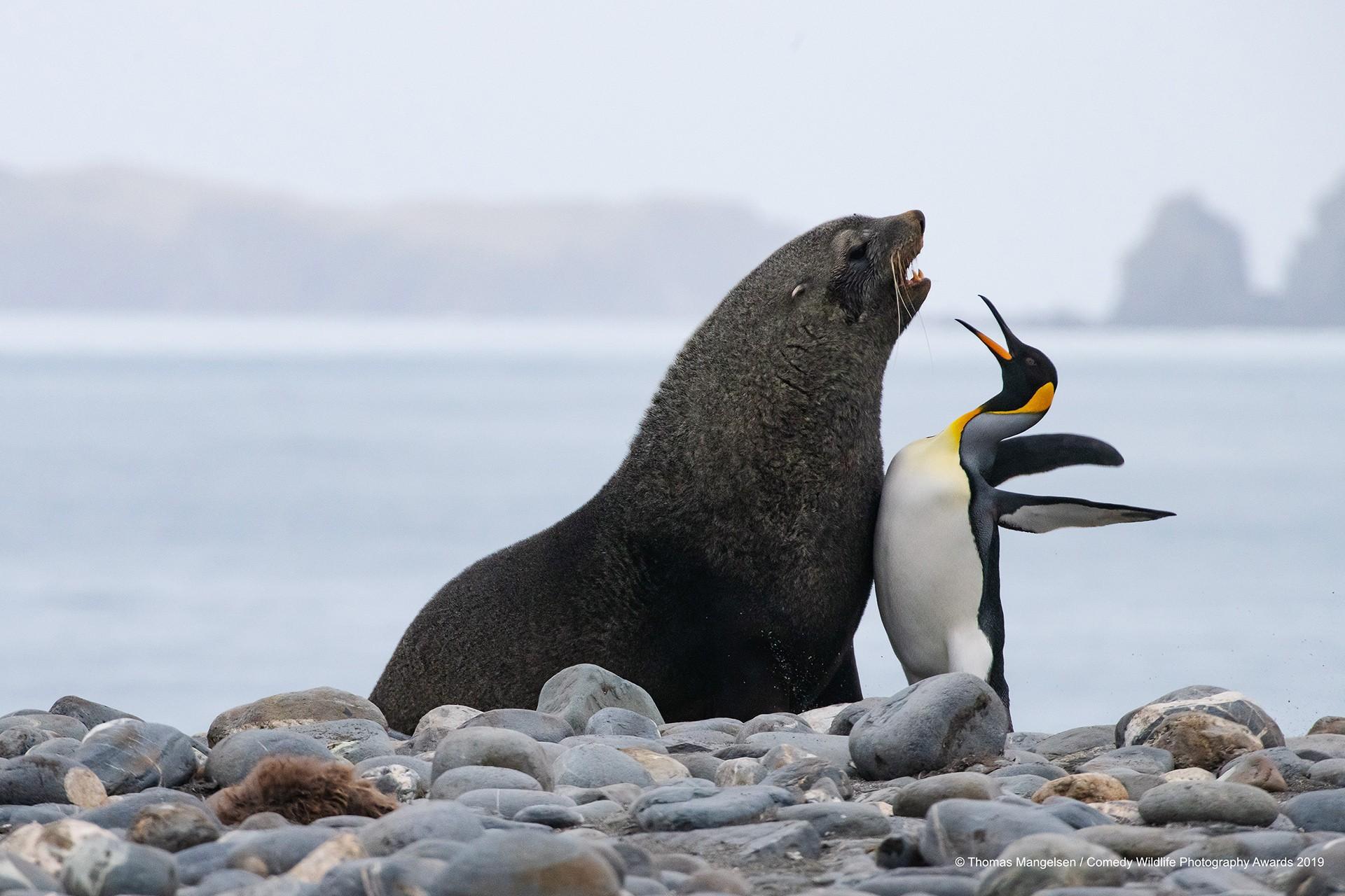 Kral penguen ve Güney Kutbu deniz ayısı