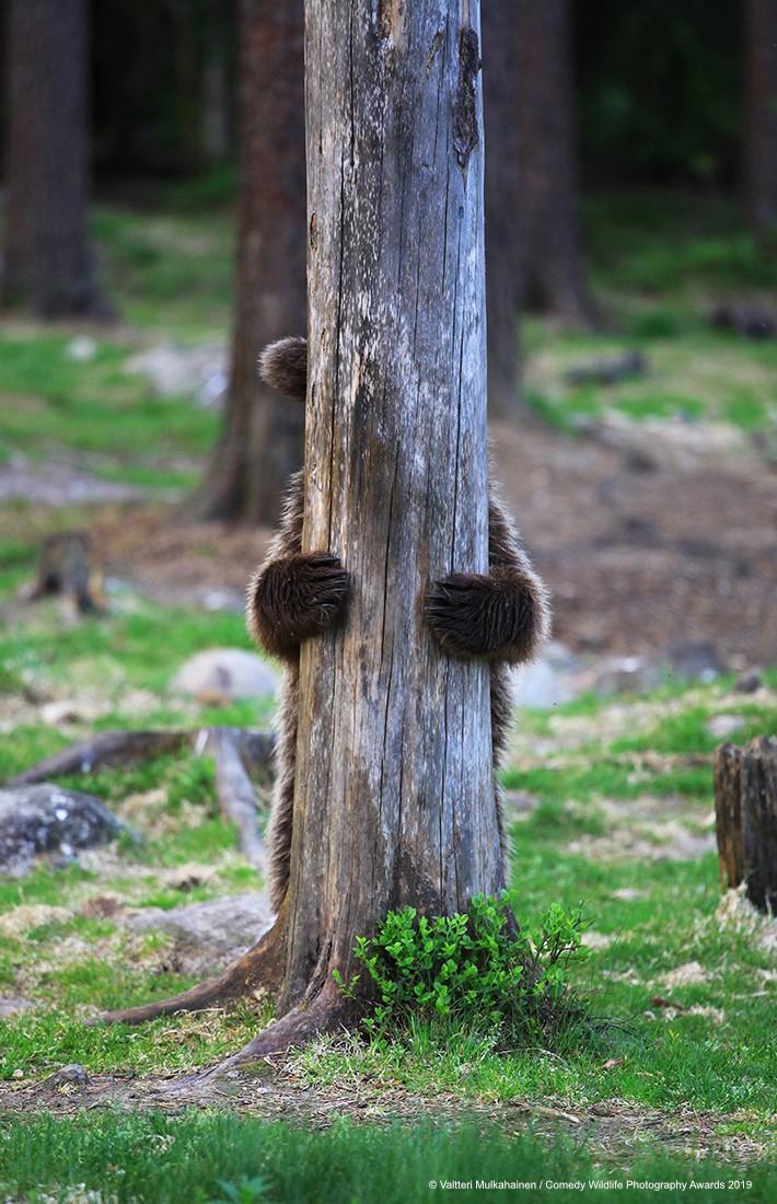 Kahverengi ayı