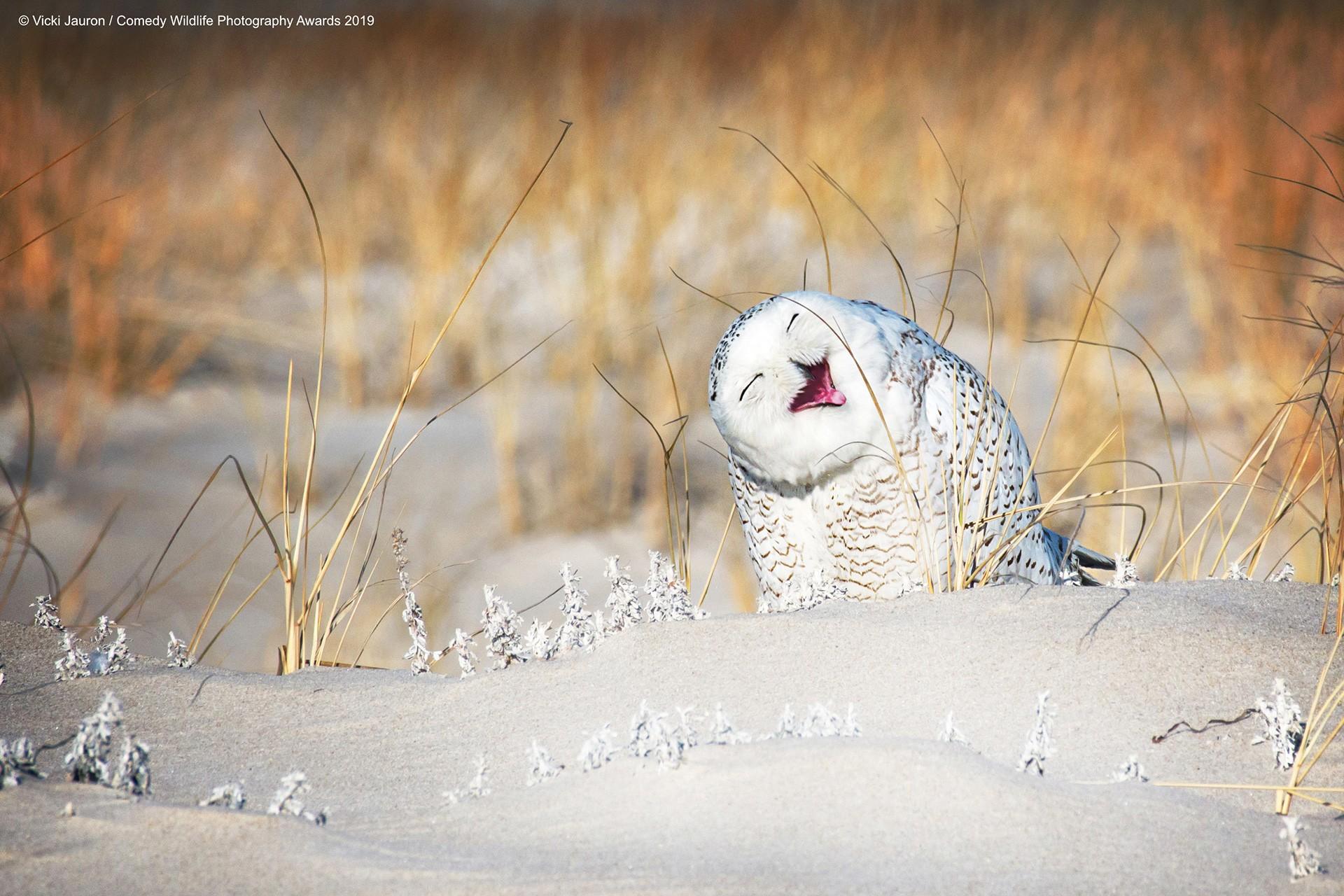 Kar baykuşu