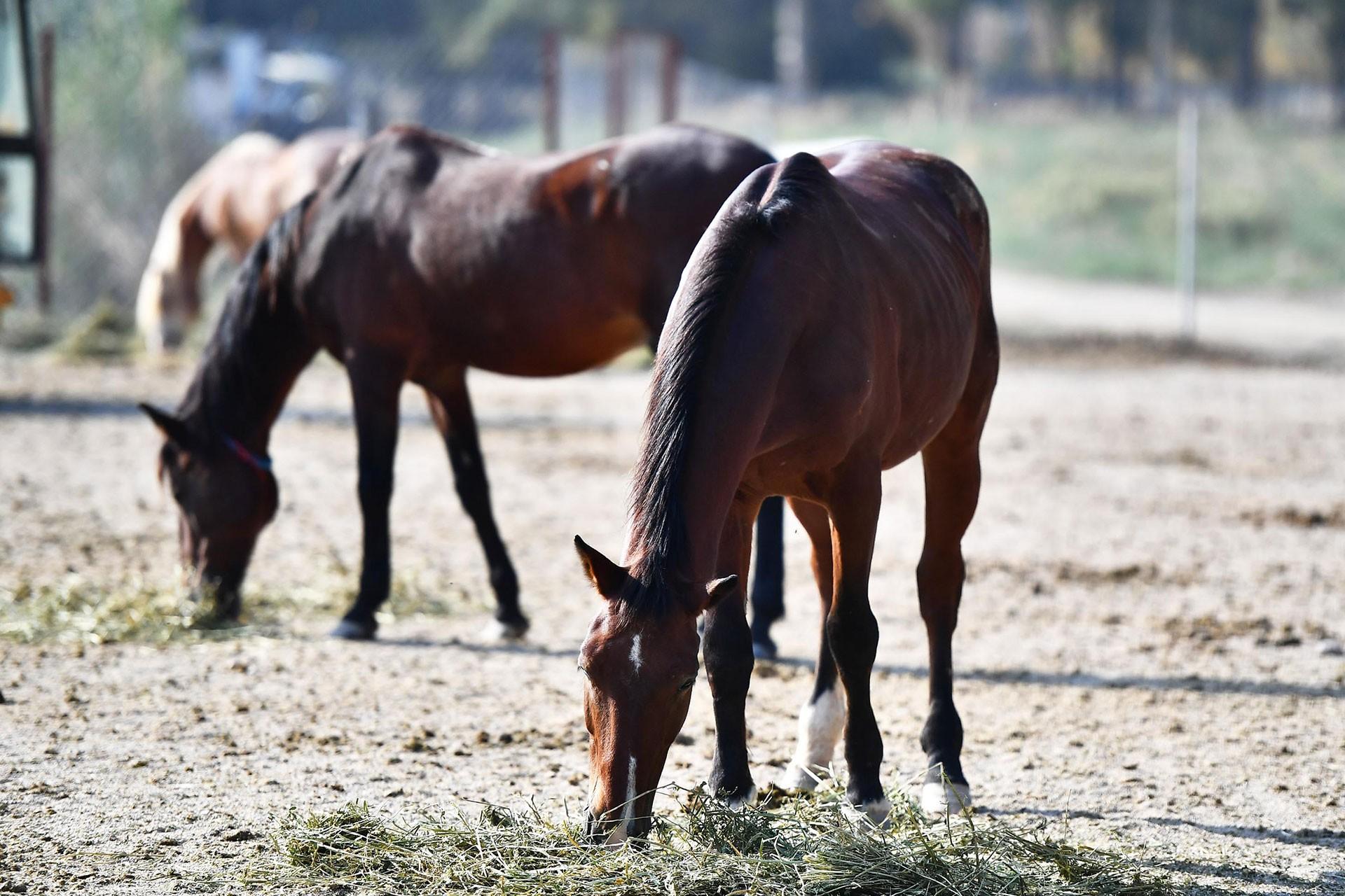 Faytonların kaldırıldığı İzmir'de atlar Doğal Yaşam Parkı'nda yaşayacak