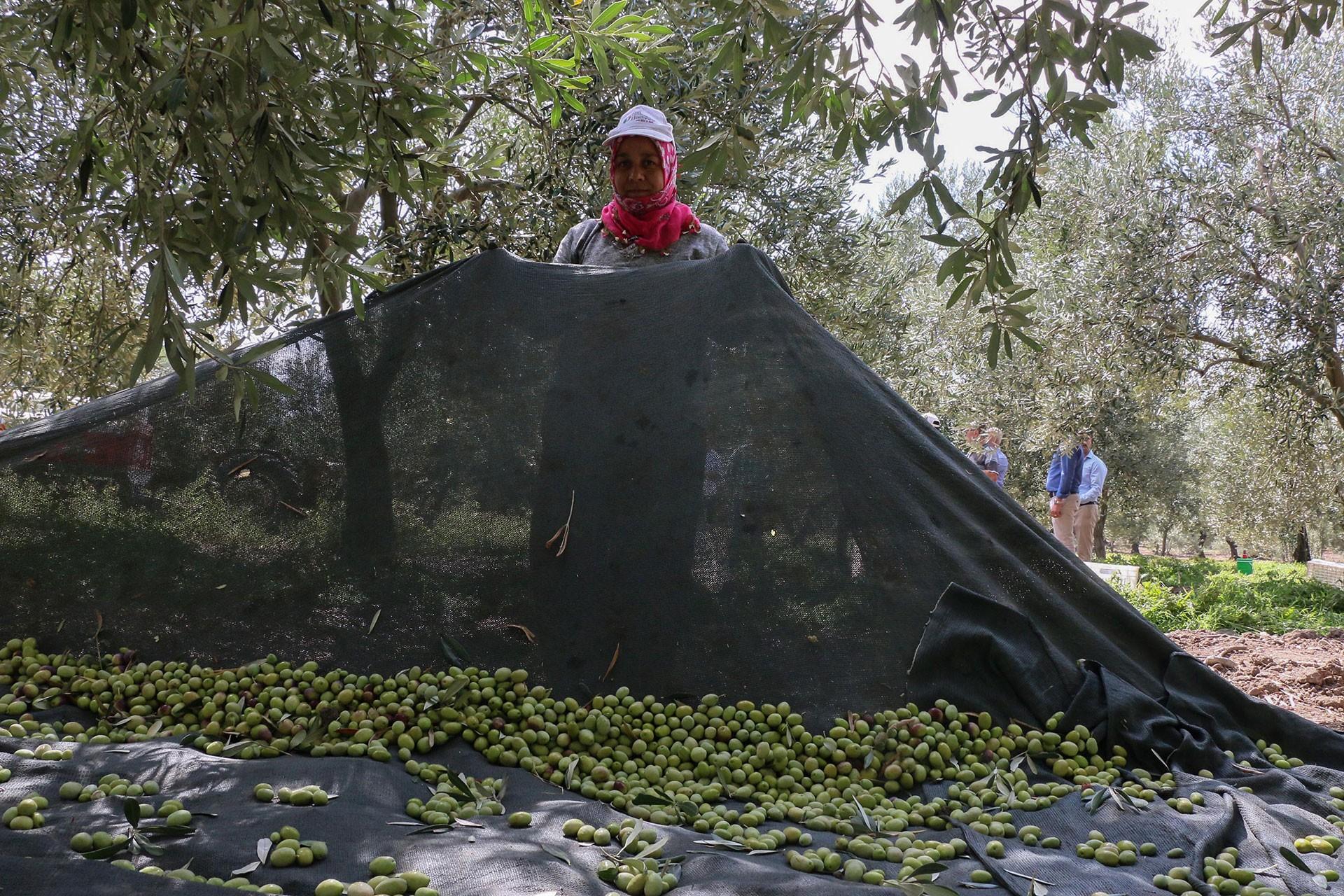 zeytin hasadı