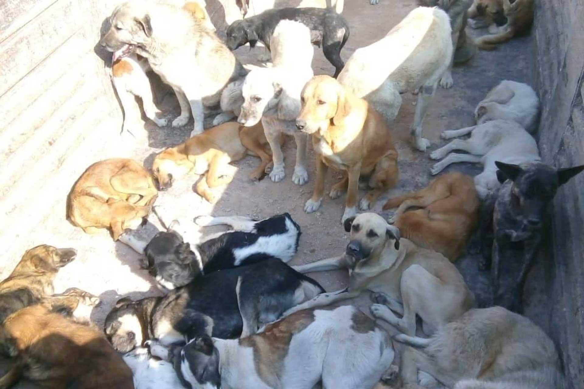 Artvin'in yaylasında bırakılan köpekler, belediyeler tarafından şehre alınmadı