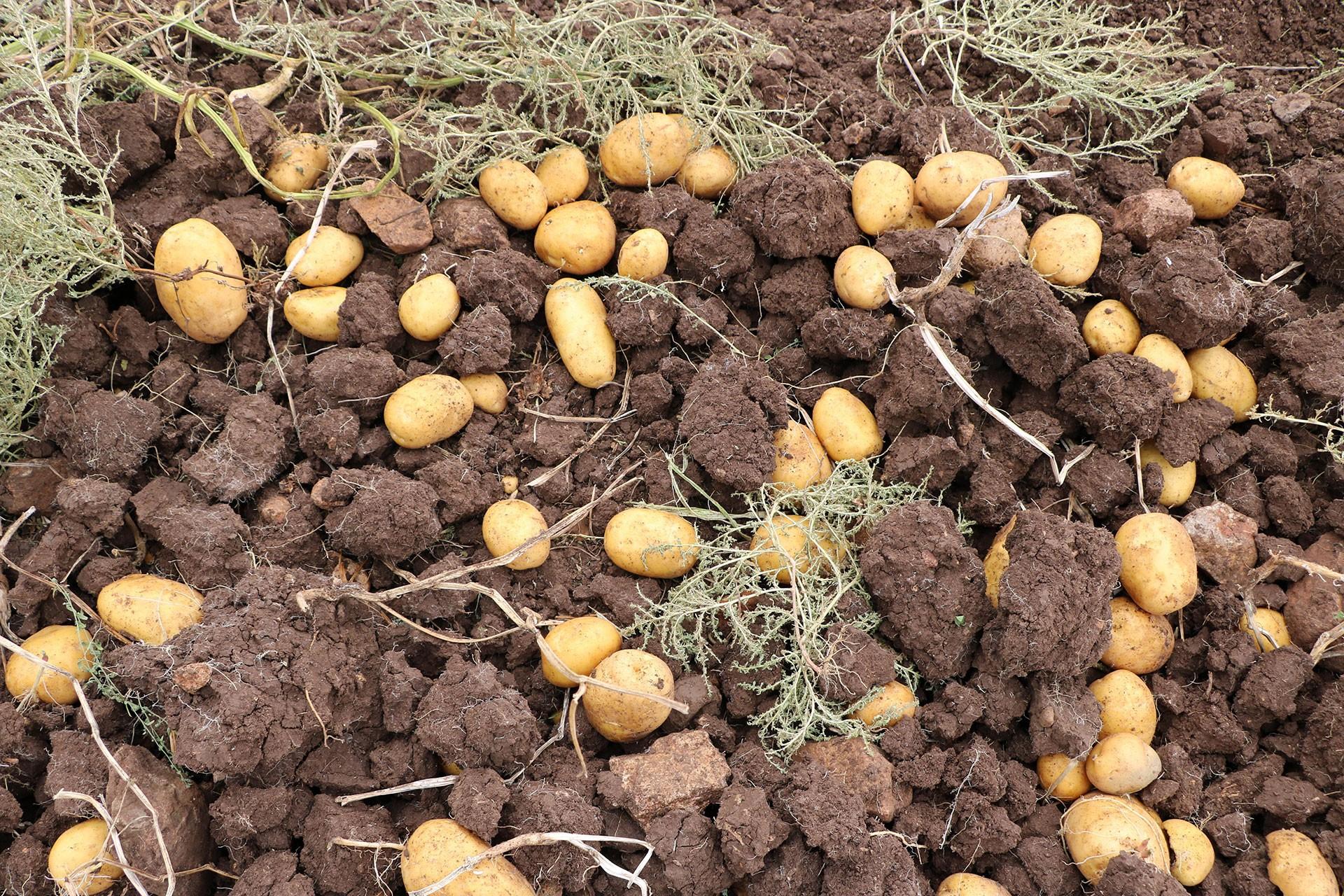 patates tarlası