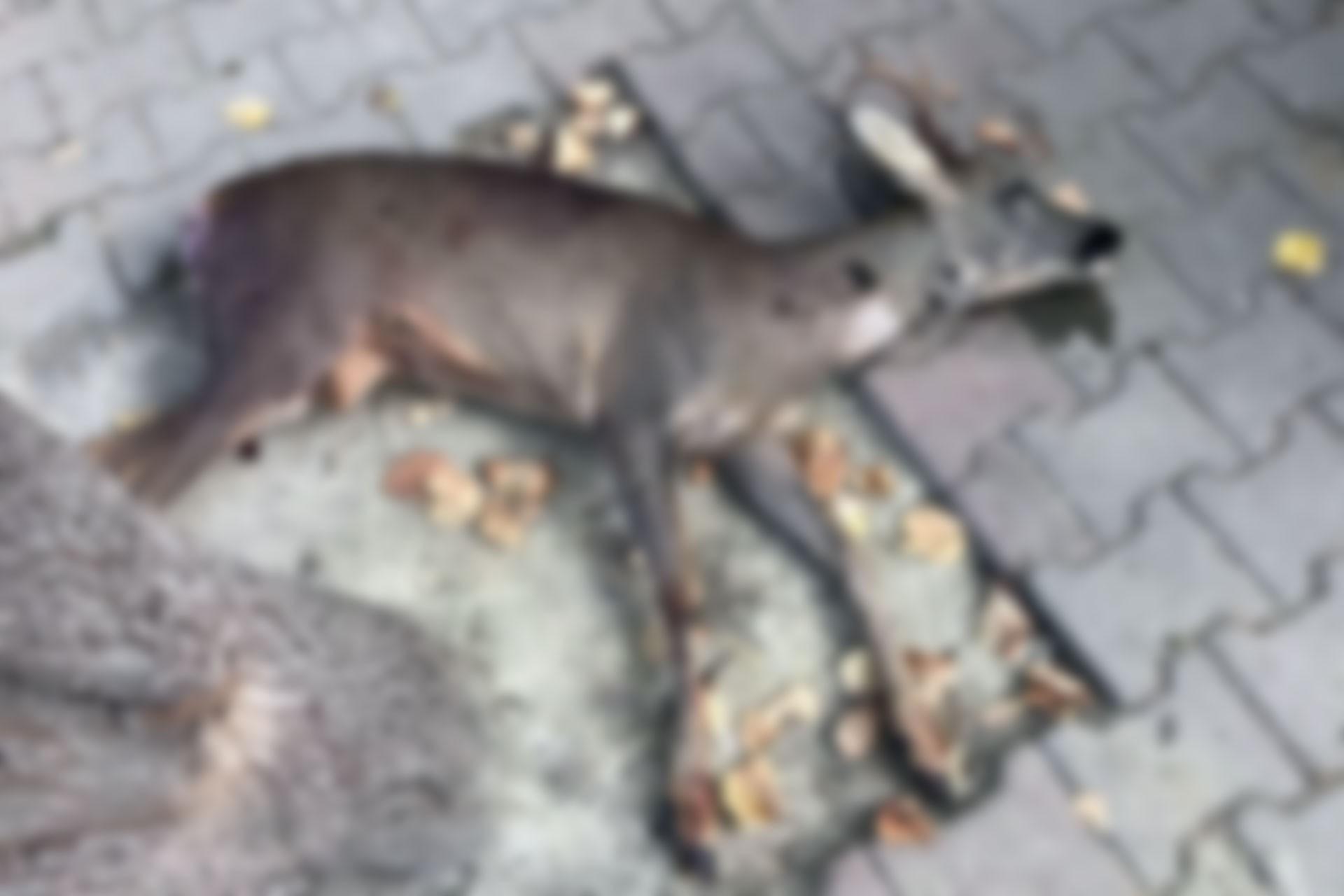 Avlanması yasak olan karaca, tabancayla öldürüldü