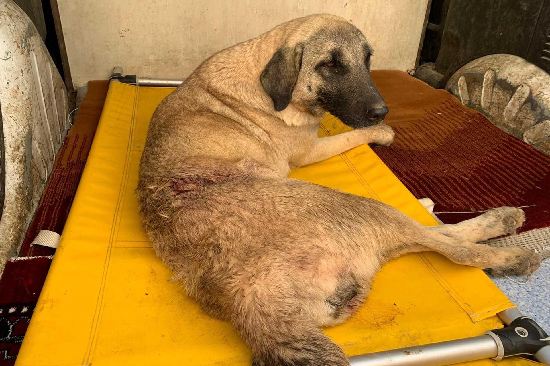 Maraş'ta bir kişinin vurduğu yaralı köpek