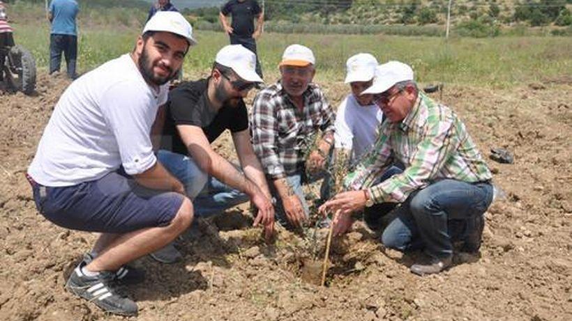 Yırca'da köylüler kesilen zeytin ağaçlarının yerine yeni fidanlar dikti