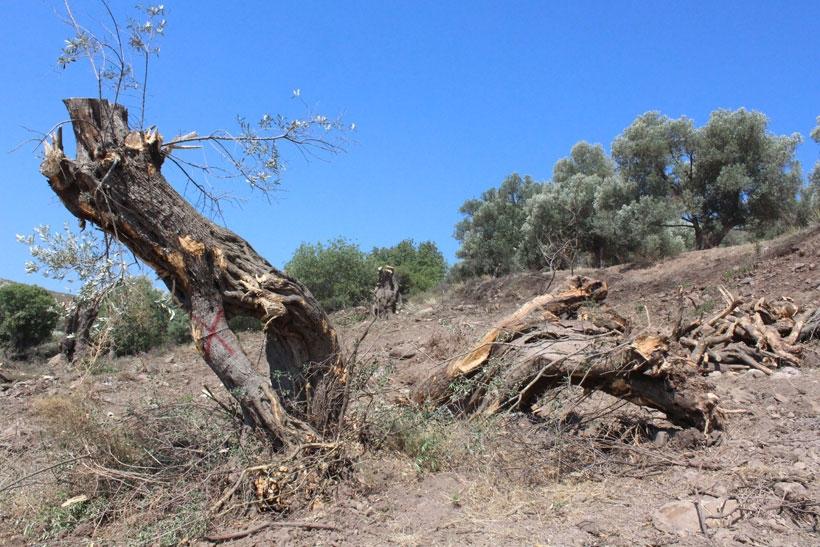 Hem doğaya hem de kanuna aykırı ağaç sökümü yapıldı