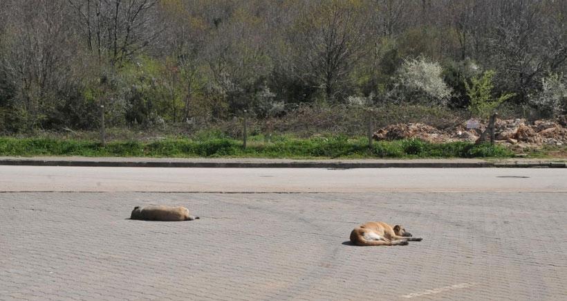 Yalova'da tilki, köpek ve kedileri ve zehirli mamayla öldürdüler