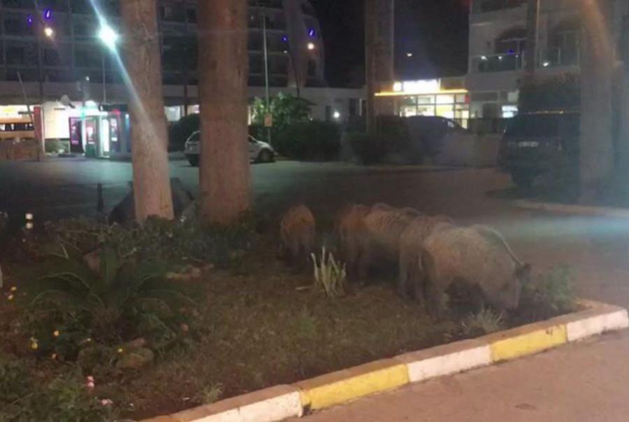 Aç kalan domuzlar, şehir merkezine indi