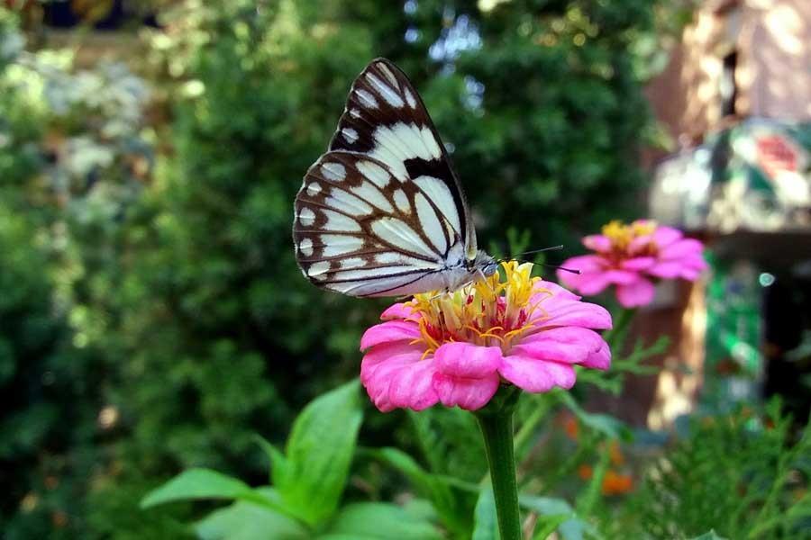 Beyaz Öncü Kelebeği ilk kez Siirt'te görüntülendi