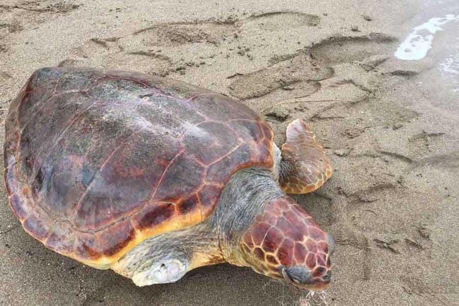 Olta iğnesi yutan ve yüzgeci kopan Caretta sahile vurdu