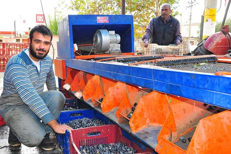 Tüccardan parasını alamayan zeytin üreticisi mağdur oldu