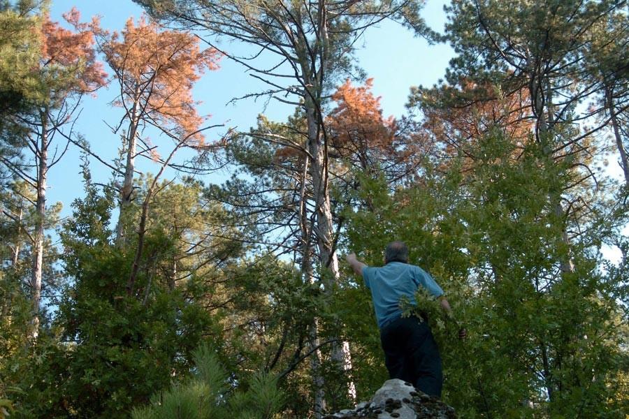 Kazdağları'ndaki ormanlarında korkutan hastalık
