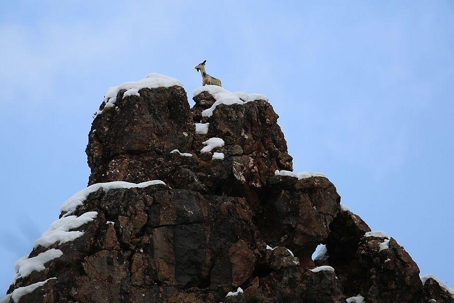 Köylülerdağ keçilerini maketle koruyor