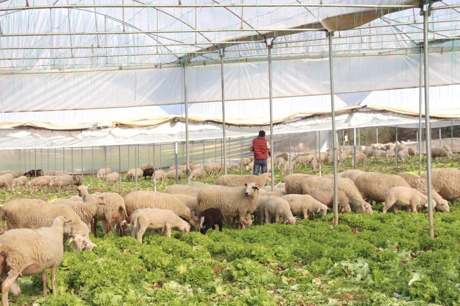 Satılamayan marulları koyunlara yedirdiler