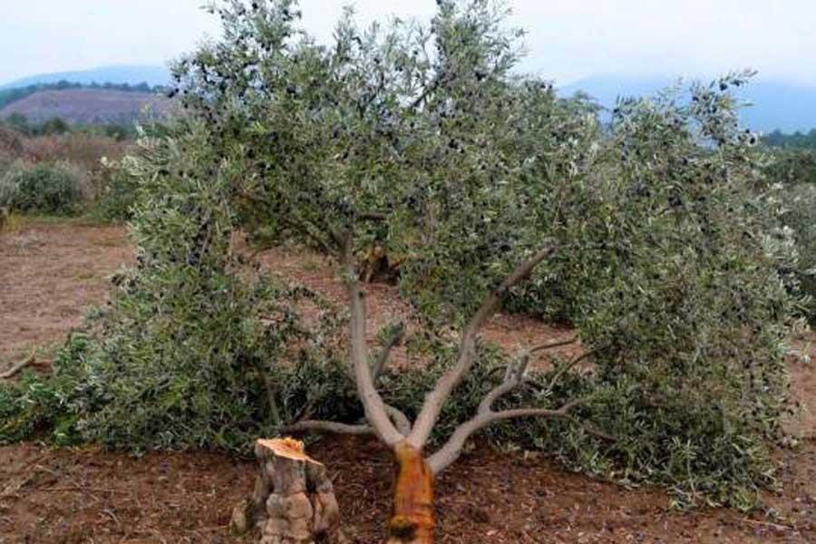 Hükümetten zeytin tasarısında geri adım