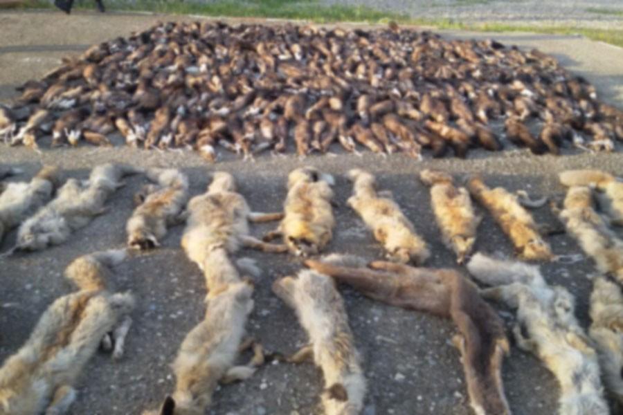 Kargo aracından yüzlerce hayvan postu çıktı