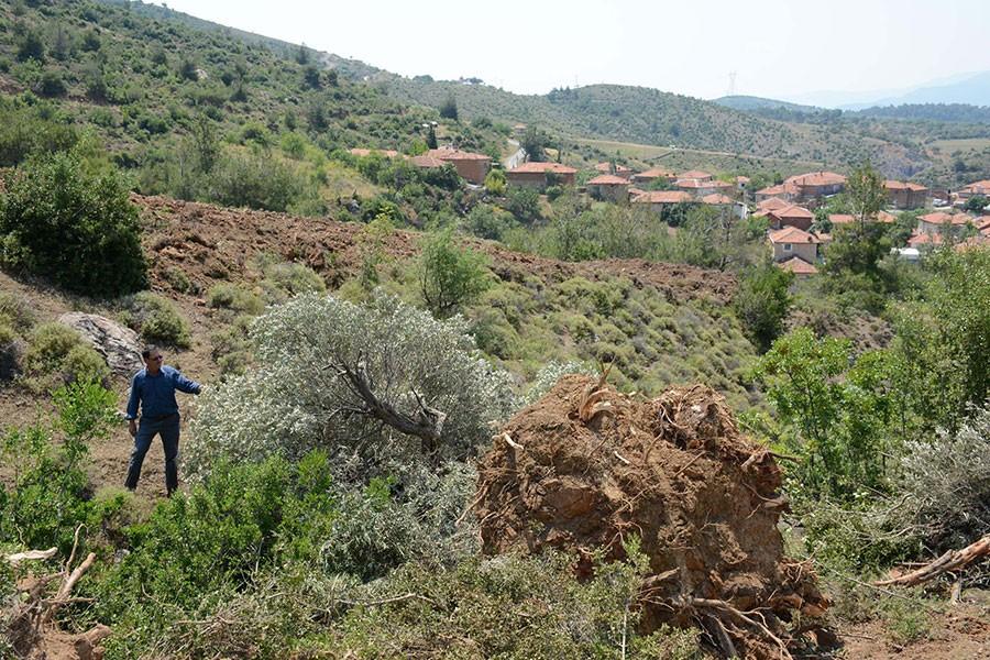 Soma'da 80 yıllık zeytin ağacını kökünden söktüler!