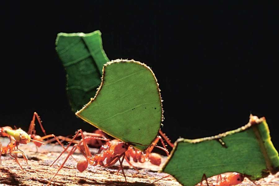 Karıncalar insandan milyonlarca yıl  önce tarım yapmış