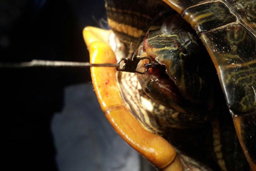 Ağzınaçapari iğnesi takılan su kaplumbağasıameliyat edildi