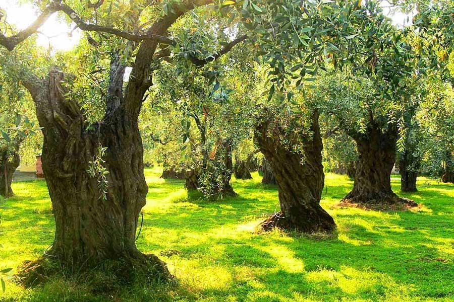 AKP, 2002'de zeytinliklerin talana açılmasına karşı çıkmış
