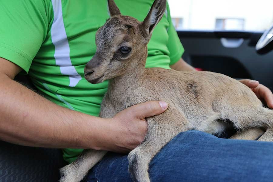 Artvin'de yaralı bulunan yavru dağ keçisi Kars'a gönderildi