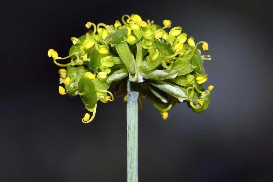 Denizli'de yeni bir endemik bitki türü keşfedildi