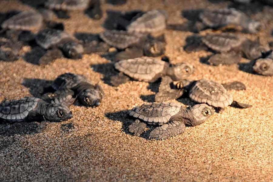 Patara'da caretta carettalar denizle buluşuyor