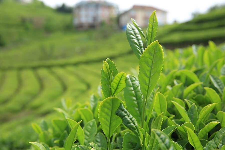 4500 lirayı bulan beyaz çay üretimi, talepleri karşılamadı