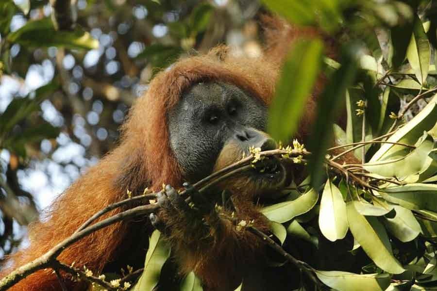 Endonezya'da keşfedilen orangutan türünün nesli tehlikede