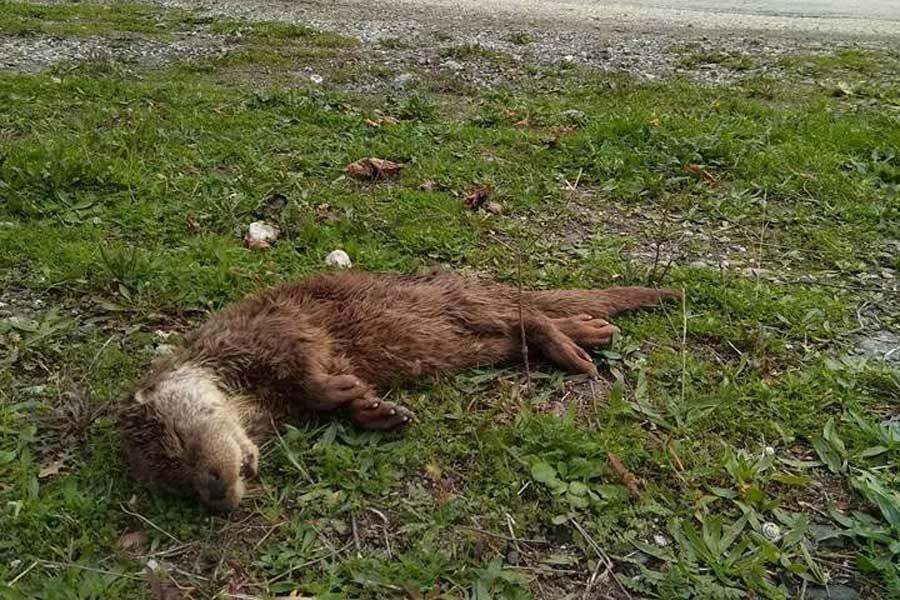 Kastamonu'da 'Su samuru' yavrusu ölü bulundu