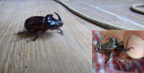 Zengin olma hayaliyle gergedan böceği avına çıktılar