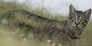 Avustralya 2 milyon kediyi neden  öldürüyor?