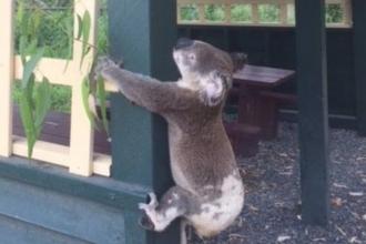 Avustralya'da koalaya zulüm öfke yarattı
