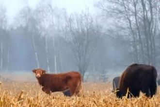 'Özgürlüğüne düşkün' inek çiftlikten kaçıp sürüye katıldı