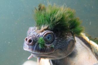 Üreme organıyla nefes alan Mary Nehri Kaplumbağasının nesli tükeniyor