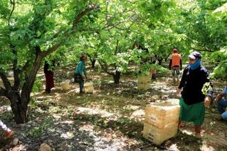 Suriyeli tarım işçileri aç kalmamak için çocuklarıyla çalışıyorlar
