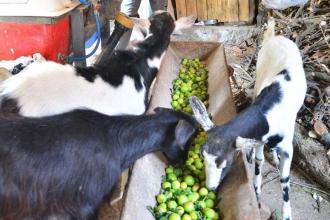 Para etmeyen erik keçilere yem oldu