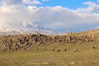Yılkı atlarından, yaban ördeklerine Ağrı Dağının yaban hayatı