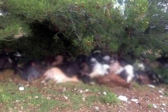 Manisa Kırkağaç'ta yıldırım, 105 keçinin ölümüne sebep oldu