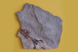İtalyan Alplerinde bulunan 'tüm kertenkelelerin annesi': Megachirella